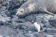Elephant Seal sticking out tongue and Penguin Stock Photography