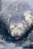 Elephant Seal sticking tongue out. At Hannah Point, Antarctica Stock Images