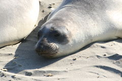 Elephant seal in the sun. At the beach Royalty Free Stock Photos