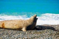 Elephant Seal, Valdes Royalty Free Stock Photos