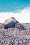 Elephant Seal, Valdes Royalty Free Stock Image
