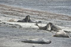 Elephant seal in the Valdes Peninsula. In the Valdes Peninsula it`s possible to see the Elephant seal. Peninsula Valdes in Patagonia is a site of global stock images