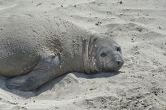 Elephant seal in the Valdes Peninsula. In the Valdes Peninsula it`s possible to see the Elephant seal. Peninsula Valdes in Patagonia is a site of global stock photography