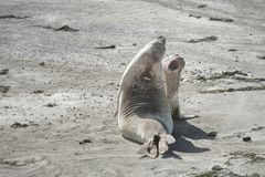 Elephant seal in the Valdes Peninsula. In the Valdes Peninsula it`s possible to see the Elephant seal. Peninsula Valdes in Patagonia is a site of global stock photo