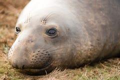 Elephant Seal Wild Mammal Lays Resting Pacific Ocean SeaShore Royalty Free Stock Photography