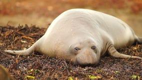 Elephant Seal Wild Mammal Lays Resting Pacific Ocean SeaShore stock video footage