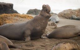 Elephant Seal Wild Mammal Rears Back to Sound Alarm Royalty Free Stock Photo