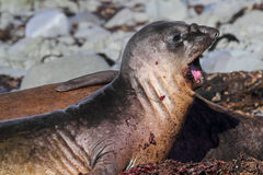 Elephant seal yawning, Antarctica royalty free stock photo