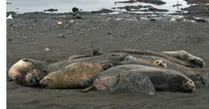 Elephant seals 10 Stock Images