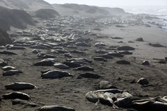 Elephant Seals Royalty Free Stock Image