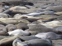 Elephant Seals 2. Elephant Seals at Piedras Blancas Royalty Free Stock Images