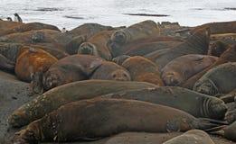 Elephant seals 2 Stock Images