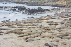 Elephant seals Royalty Free Stock Photos