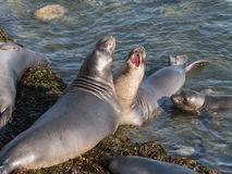 Free Elephant Seals Royalty Free Stock Photo - 34973485