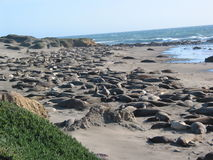 Elephant seals  Royalty Free Stock Photography
