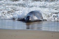 Free Elephant Seals Stock Images - 42746314