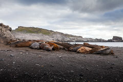 Elephant seals all together molting their skin in Antarctica. Royalty Free Stock Photo