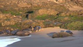 Elephant Seals along the Beach stock footage