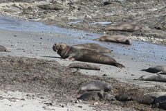 Elephant Seals at Ano Nuevo Royalty Free Stock Photos