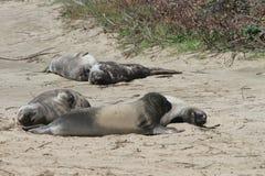 Elephant Seals at Ano Nuevo Stock Image