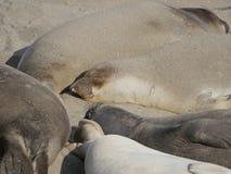 Elephant seals asleep on a beach Stock Image