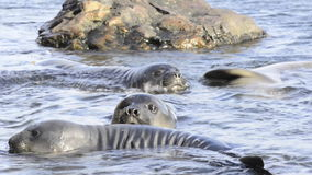 Elephant Seals stock video footage