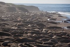 Elephant Seals On a Beach Royalty Free Stock Images