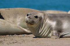 Elephant seals on beach Royalty Free Stock Images