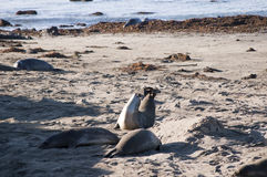 Elephant Seals on Beach in California USA Stock Image
