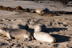 Elephant Seals on Beach in California USA Royalty Free Stock Images