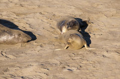Elephant Seals on Beach in California USA Royalty Free Stock Image