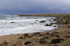 Elephant seals at the beach. Elephant seals gathering at the beach of San Simeon, California for seasonal breeding Royalty Free Stock Photo