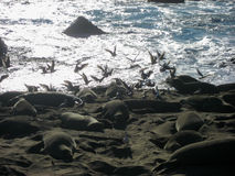 Elephant Seals on Beach with Gulls Royalty Free Stock Image