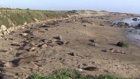 Elephant Seals stock video footage