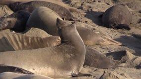 Elephant Seals on the Beach stock video