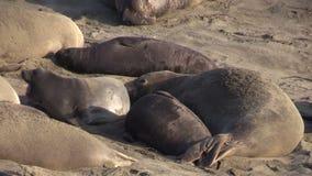 Elephant Seals on Beach stock video footage