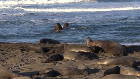 Elephant Seals on the Beach stock video footage