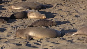 Elephant Seals at the Beach stock footage