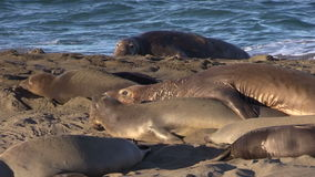 Elephant Seals at the Beach stock video