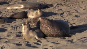 Elephant Seals stock footage