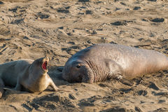 Elephant Seals Stock Photo