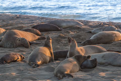 Elephant Seals at the Beach Royalty Free Stock Photo