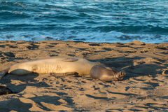 Elephant Seals on the Beach Royalty Free Stock Photos