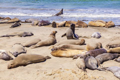 Elephant seals at the beach near San Simeon, California Stock Image