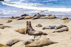 Elephant seals at the beach near San Simeon, California Stock Photo