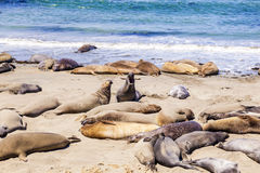 Elephant Seals. At a beach near San Simeon in California Stock Images