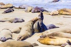 Elephant Seals. At a beach near San Simeon in California Royalty Free Stock Photo