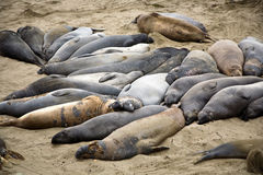 Elephant seals on a beach near San Simeon Royalty Free Stock Photos