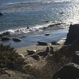 Elephant Seals Stock Images