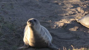 Elephant Seals on the Beach Zoom In stock video footage